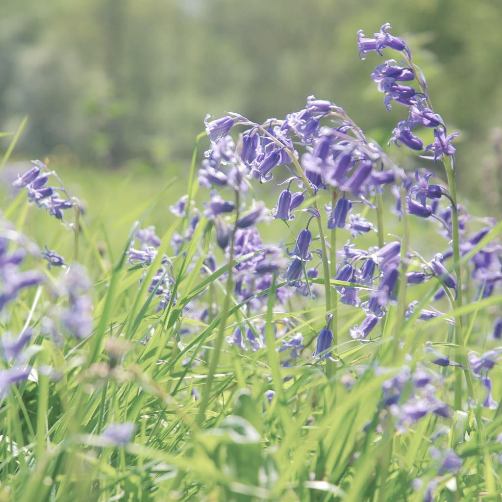 EXPLORE | A bluebell spectacular at Ashridge Estate