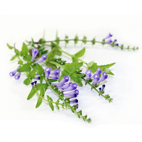 Skullcap Root Extract Supplement