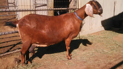 Kudos Farms All That Jazz Purebred Nubian Doe