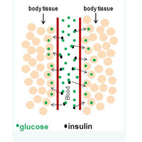 Glucose is the primary source of fuel for our body