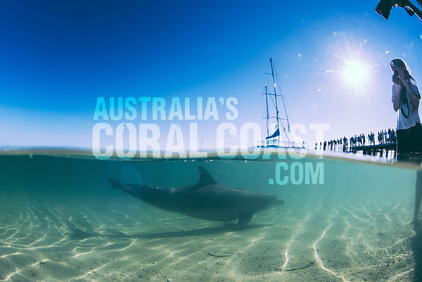 dolphin feeding at monkey mia shark bay western australia 2