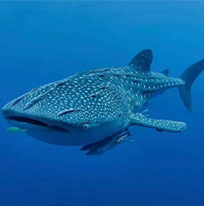 WHALE SHARKS CROSS PROGRAM