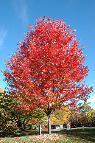 Autumn Blaze Maple (Red Maple)
