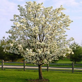 Cleveland Select Ornamental Pear