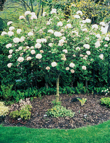 Fragrant Snowball Viburnum  (Tree Form)