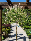 Variegated Japanese Willow  (Tree Form) - 'Hakura Nishiki'