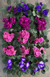 African Violets (5 Colours)