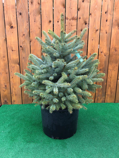 Baby Blue Spruce (4417056735315)