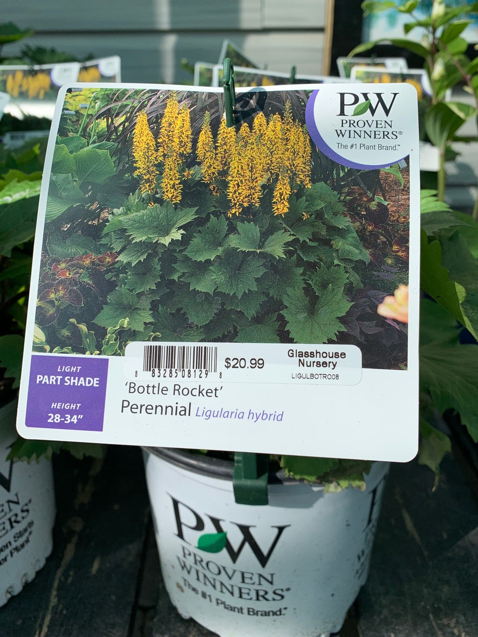 Bottle Rocket Ligularia