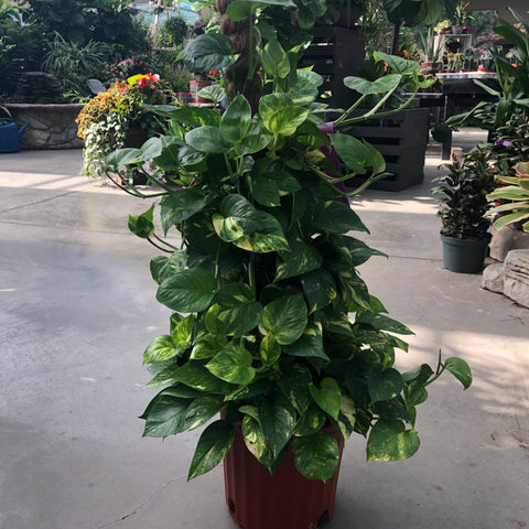 Pothos On Coco Trunk