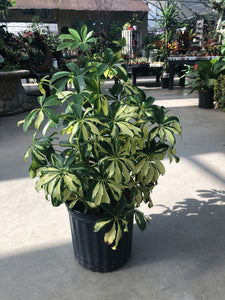 Schefflera Bush - Variegated