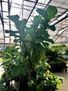 8 Foot Fiddle Leaf Fig Standard