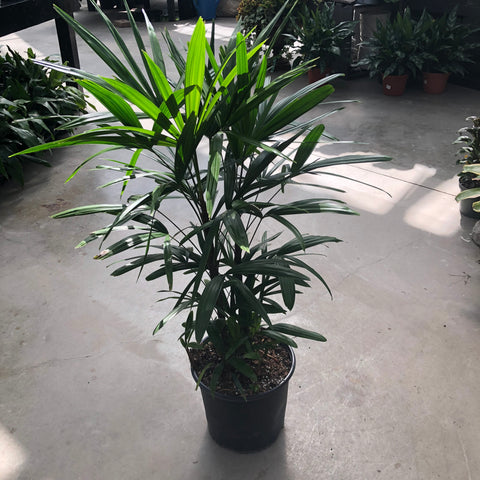 Lady Palm 'Rhapsis Excelsa'