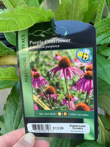 Coneflower: Purple
