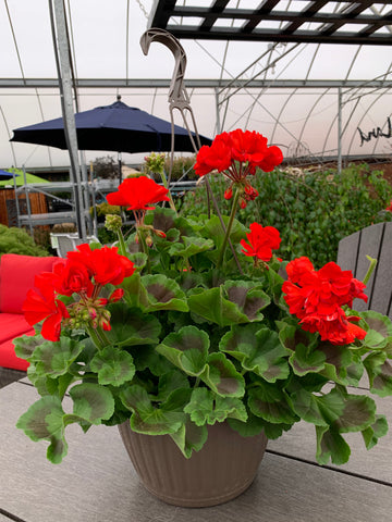 Geranium Hanging Basket * 5 Colour To Choose From
