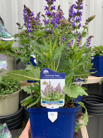 Perennial Sage: April Night