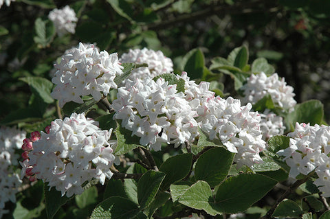 Korean Spice Viburnum (Tree Form)