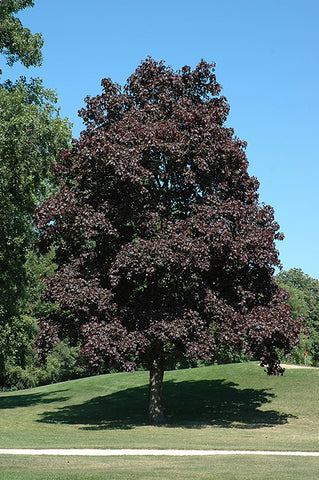 Crimson King Red Maple