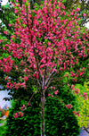 'MARION JARVIE' ORNAMENTAL FLOWERING PEACH (4398001422419)