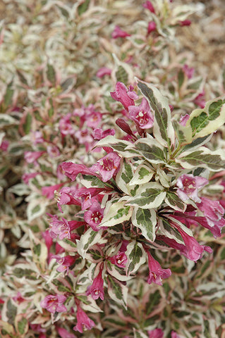 'My Monet' Dwarf Weigela