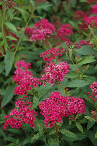 Neon Flash Spirea