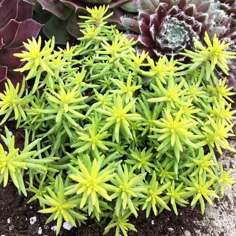 Sedum Sunsparkler 'Angelina's Teacup'