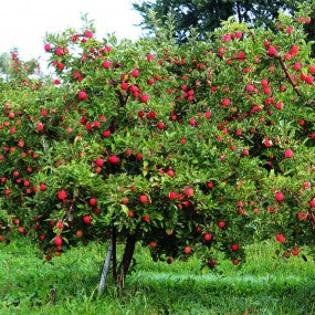 Combination Apple Tree (5 in 1)