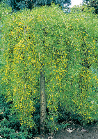 Walker's Weeping Caragana