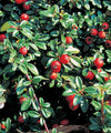 'Coral Beauty' Cotoneaster