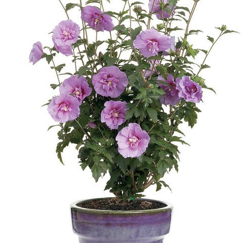 Lavender Chiffon Rose Of Sharon
