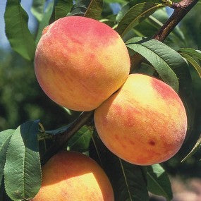 Reliance Peach Tree