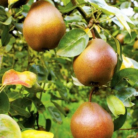 Combination Pear Tree (4 in 1)