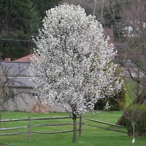 'Redspire' Ornamental Pear Tree