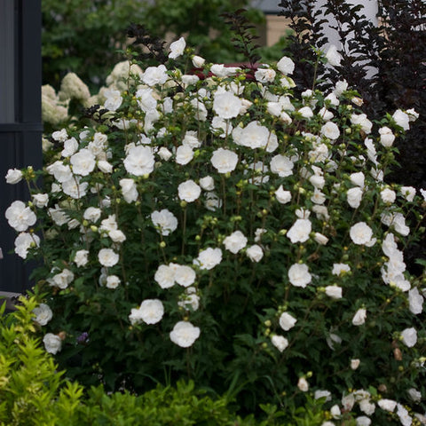 White Chiffon Rose Of Sharon