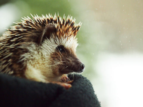 Boomer the Hedgehog watches the winter storm outside the BubbleGumDish studio on Groundhog Day