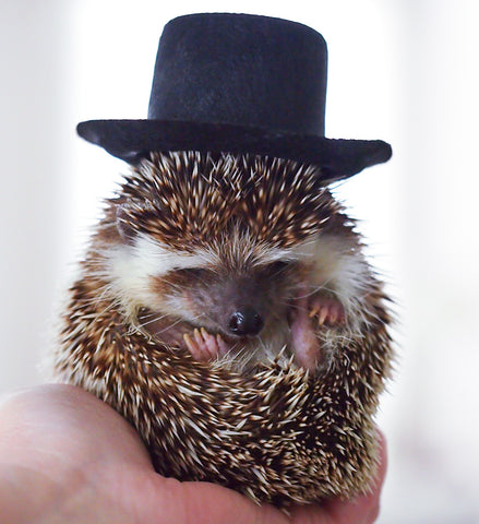 Boomer the Hedgehog puts on his Top Hat to Celebrate Groundhog Day at BubbleGumDish