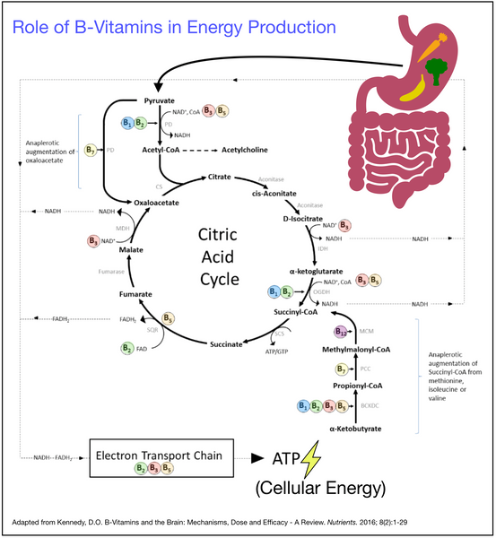 The Role of B Vitamins in Converting Food to ATP Cellular Energy ATP via the Citric Acid Krebs Cycle
