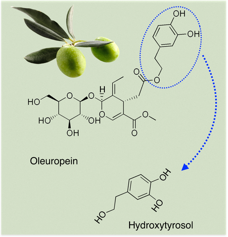 Oleuropein degradation into hydroxytyrosol