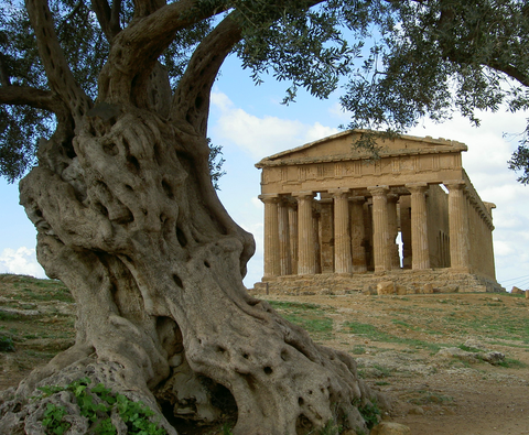 Olive Tree Next to Ancient Ruins