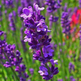 Lavender Essential Oil (French) - Instant Essentials