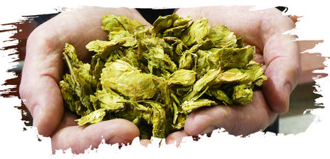Hands Holing Whole Cone Hops for Brewing Beer
