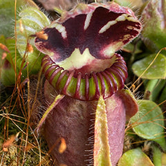 Australian Pitcher Plants (Cephalotus follicularis)