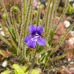 Temperate Butterworts (Pinguicula)