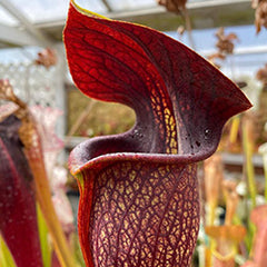 American Pitcher Plant (Sarracenia) Species