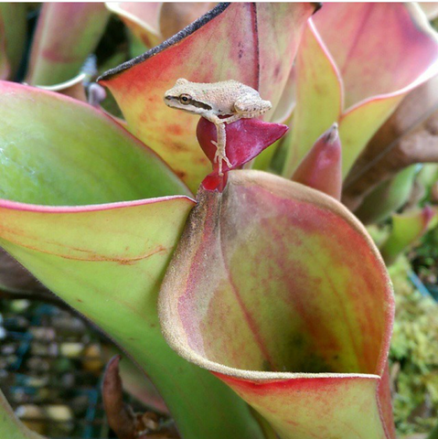 Heliamphora and frog