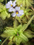 Warm Temperate Pinguicula