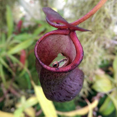 Nepenthes rajah - Wikipedia