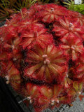 Rosetted Sundews