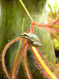 Forked Leaf Sundews