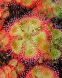 Tropical Sundew